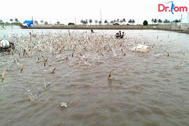 Kinh nghiệm nuôi tôm thẻ chân trắng với mật đọp phụ thuộc vào độ sâu của mặt nước