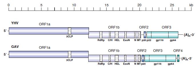 Hình 1: Hệ gen của Yellow Head Virus (YHV) và Gill Associated Virus (GAV) (Walker, 2007)