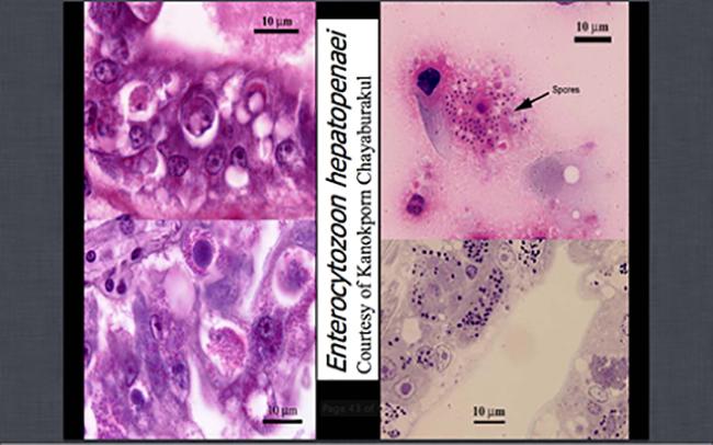 Kích cỡ bào tử rất nhỏ, chỉ khoảng trên dưới 1 micron, rất khó nhìn thấy nên cần xét nghiệmPCR để phát hiện sớm bệnh trên tôm